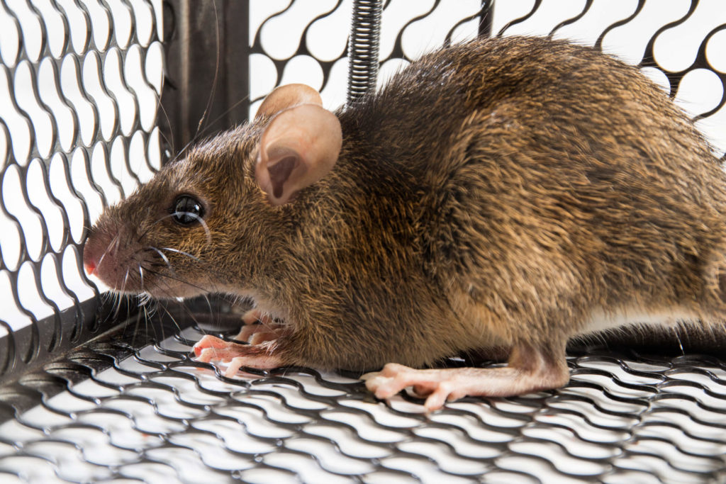 Rodent/Rat Control in Davao City
