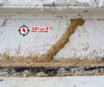 Here are some impressive termite mud tube. Termite season is right around the co…
