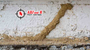 Here are some impressive termite mud tube. Termite season is right around the co…