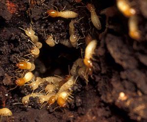 Termite Treatment in Davao City