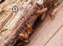 Whether they're coming up from underground (subterranean termites) or above the …