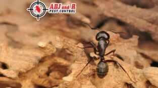 Carpenter ants are wood-destroying insects