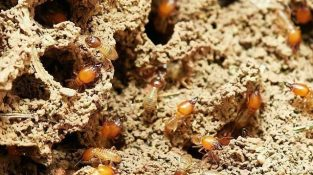 Termites/anay Treatment Facts